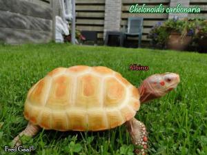 013.chelonoidis-carbonaria-fred-gaal