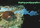 002-graptemys-pseudogeographica-kohnii-jared-zellars