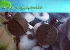003-graptemys-pseudogeographica-sarah-ruffoni