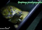 004-graptemys-pseudogeographica-kohnii-david-james-best