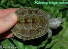 011-malaclemys-terrapin-centrata-william-boragina