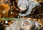 012-malaclemys-terrapin-centrata-e-terrrapin-warradjan-turtle