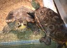 014-malaclemys-terrapin-pileata-warradjan-turtle