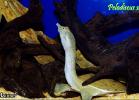 016-pelodiscus-sinensis-fabio-maione