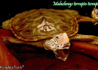 019-malaclemys-terrapin-terrapin-warradjan-turtle