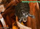 020-malaclemys-terrapin-terrapin-warradjan-turtle