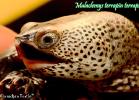 021-malaclemys-terrapin-terrapin-warradjan-turtle
