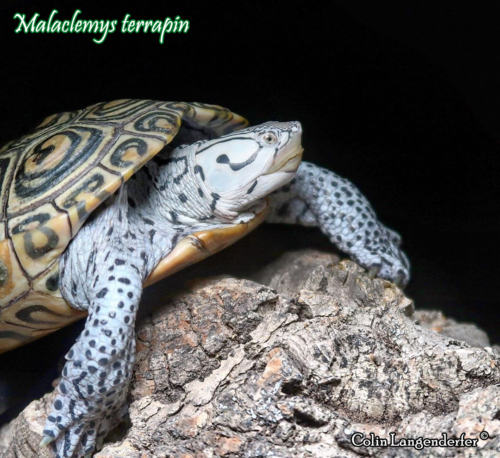 000.malaclemys-terrapin-colin-langenderfer