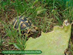 002.opuntia-fico-india-tartarughe