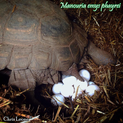 004.manouria-emys-chris-leone