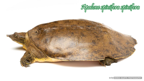 009-apalone-spinifera-derek-hauffe
