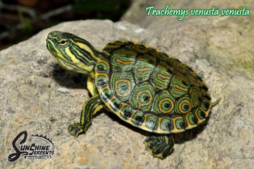 011.trachemys-venusta-sunshine-serpents