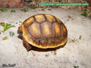 012.chelonoidis-carbonaria-jitka-totti