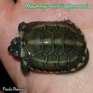 014.mauremys-reevesii-paolo-banin