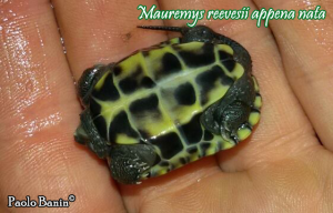 015.mauremys-reevesii-paolo-banin